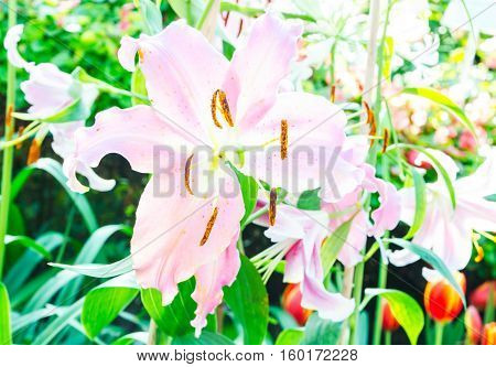 pink lilly flower in the natural garden