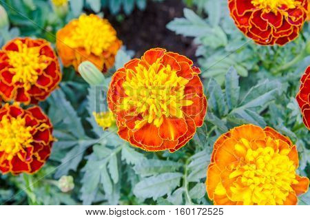 background with beautiful yellow flowers in the garden