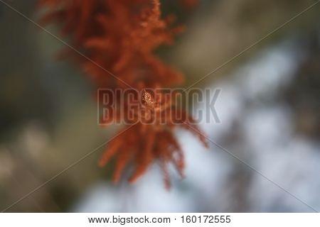 Celosia argentea flower close up at winter outdoors