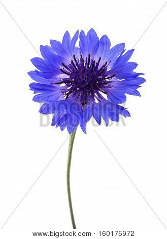 Blue Cornflower (cyanus Segetum)