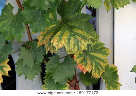 Agricultural / Winery / Grape Leaves / Grapes