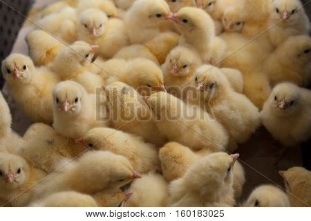 lots of little chicks in a box at the agricultural farm