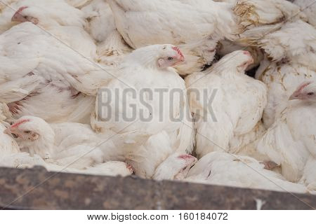 Poultry Farm. Broiler chickens in a cage.