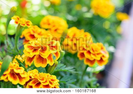 French marigolds flower in the gardenFrench marigolds flower