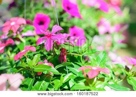 Madagascar periwinkle Catharanthus roseus Vinca flower closeup