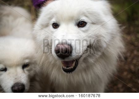 Two samoyed dog in the autunm forest.