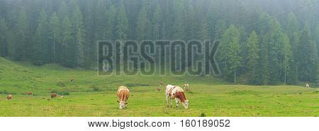 Cows on pasture in the Alps, Dolomites, Italy