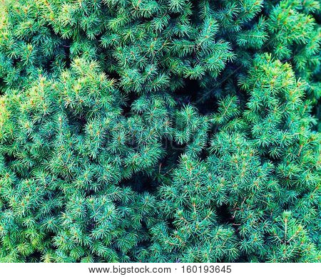 Green fir tree background. Close-up fir-trees. Christmas tree branches.