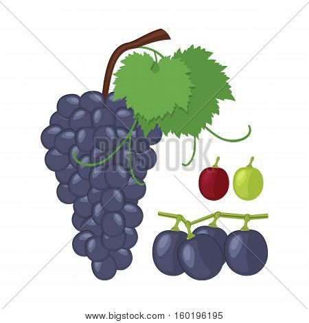 Grapes. Grape bunch of berries and fruit separately white and pink grapes. Vector illustration.