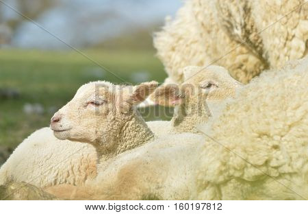 Lambs basking in the sun next to a ewe