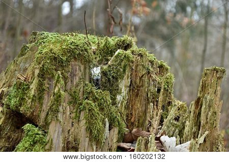Old tree stump covered with moss. Stump.