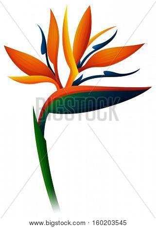 Bird of paradise flower on white background illustration