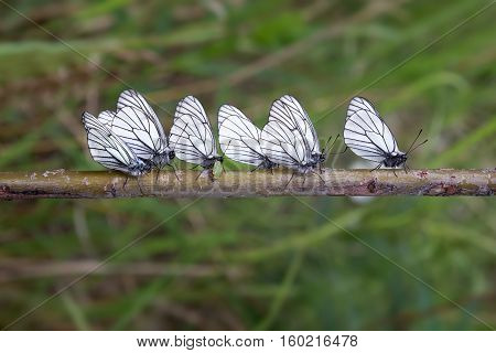 Seven cabbage butterfly sitting on a horizontal branch
