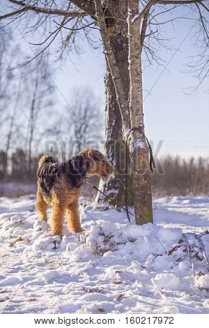 Dog Airedale Terrier on a snow tied to the tree in a sunny winter day