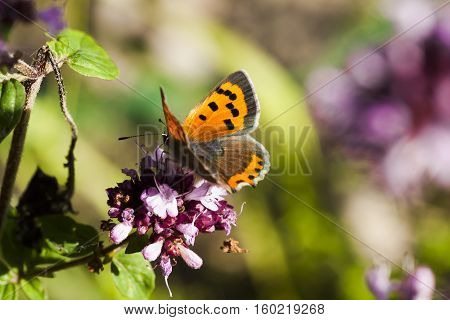 a lycaena phlaeas or a small,common copper