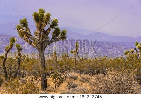 Joshua tree or yucca plant in the Mojave desert of California USA
