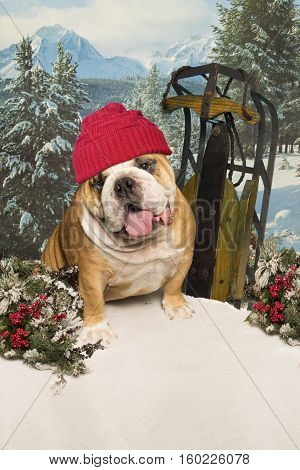 A bulldog wearing a red toque sits beside a sled in the snow in front of a mountain view.