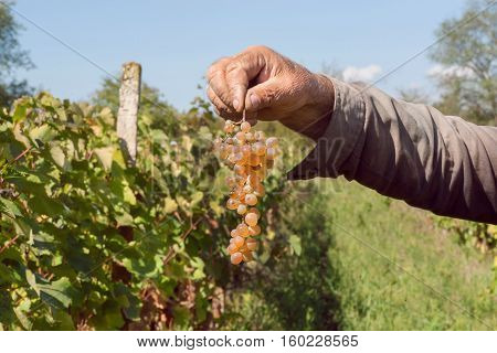 Bunch of grapes in the farmer's hand. Vineyard of rural community