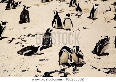 African juvenile penguins are moulting on the beach. Photo taken at Boulders Beach near Simon's Town during sunny day. At the foreground, couple of penguins taking care of each other.