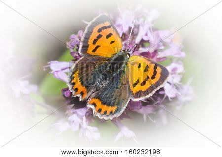 a lycaena phlaeas or a small, common copper