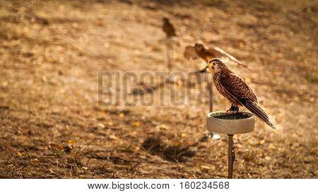 Photo of three birds - kestrel - falcon - in the Zoo during sunny day