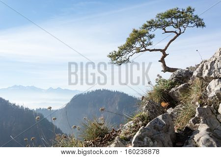Very old relic pine on top of Sokolica mountain in Pieniny Poland