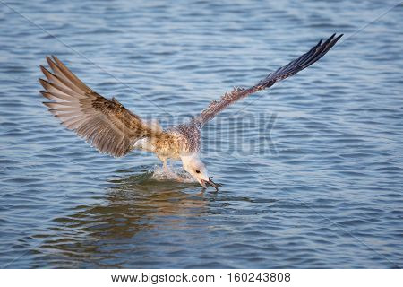 Seagull (Larus michahellis) tries to grab food in the sea