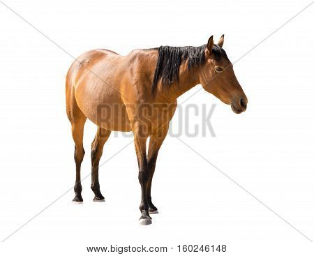 Namibian Wild Horse From Garub Desert Isolated On White Background
