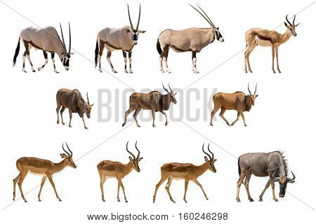 Set Of 11 Antelopes Isolated On White Background