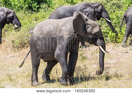 Herd of African elephants at the watering. The concept of exotic and active tourism. River Okavango, shore, Botswana, Chobe National Park