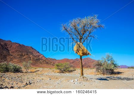 The concept of exotic tourism. Red Namib desert in Namibia. At a roadside tree, built a large nest tropical bird - finch