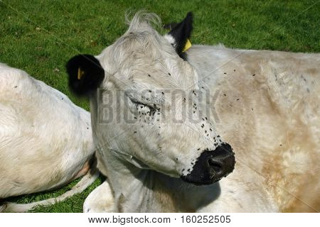 White cattle probably the British white breed with black ears and nose lying down in a grass field with flies around the nose and eyes.