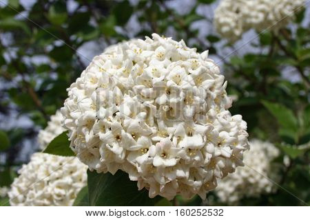 White densely flowering shrub that looks like a Viburnum species. Background of light blue sky flowers and leaves of the same plant.