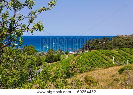 View of the coast near Port Vendres with vineyards and almond trees in foreground and Mediterranean beach in background Mediterranean sea Pyrenees Orientales Roussillon France