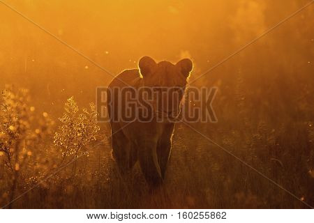 lion at Serengeti national park Tanzania, Africa