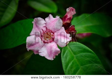 Climbing Oleander, cream fruit, poison arrow vine. Pink flower on the garden.