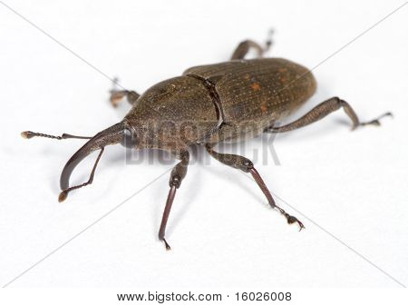 Weevil On White Surface