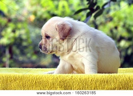 The Little Cute Labrador Puppy On A Yellow Background