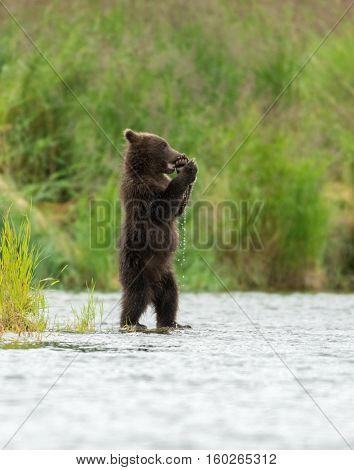 Alaskan Brown Bear Cubs