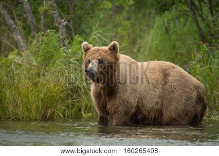 Alaskan Brown Bear Sow