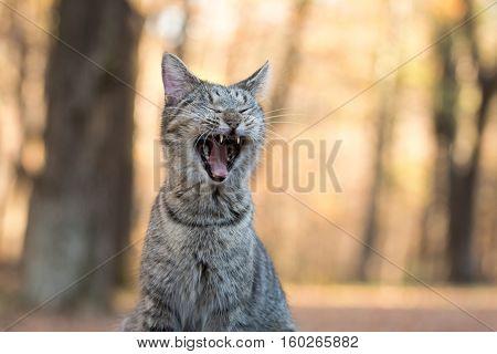 Tabby Cat Yawning
