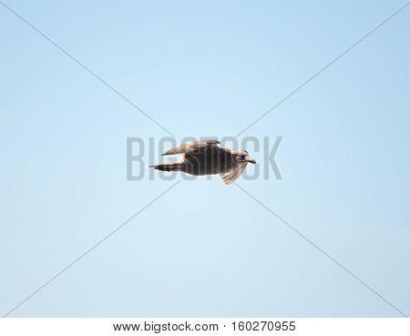 Large, brown sea bird flying through the air near a Pacific Coast beach in Oregon.