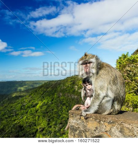 Monkeys at the Gorges viewpoint. Black River Gorges national park. Mauritius.
