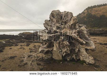 Petrified tree stump laying on the ground on a cold, cloudy day at the beach.