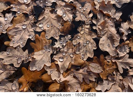 Brown oak leaves in autumn, floating in the water with water drops