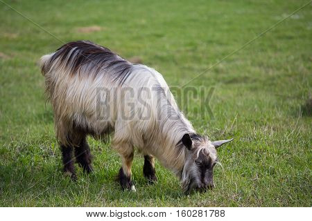 Shaggy goat grazing on a green meadow. Farm