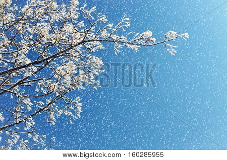 Winter frosty tree branches of the snowy winter tree under snowfall against blue sky. Winter background with snowfall and free space for text. Winter tree branch in sunny weather with winter snowfall