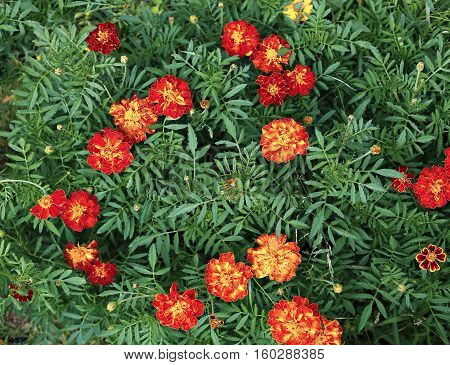 Many bright red and orange marigold flowers in the garden