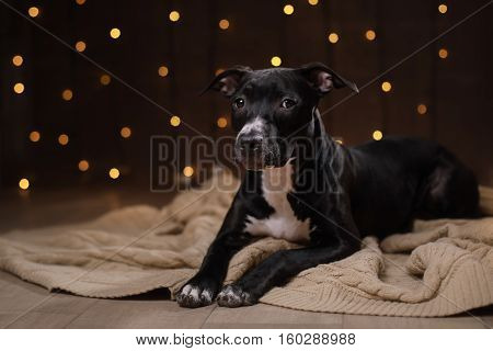 Happy New Year, Christmas, Pet In The Room. Pit Bull Dog, Holidays And Celebration
