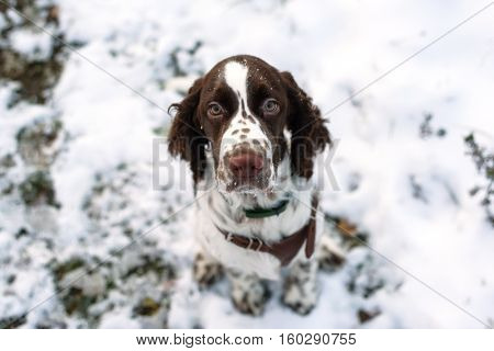 Walk with a puppy for the first snow. Cute Puppy English Springer Spaniel sits on the fall nature. Look at the camera.